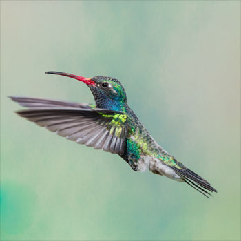 Hummingbird | Google Search
